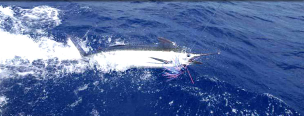 tag and release encouraged in Mauritius by JP Henry Charters Ltd